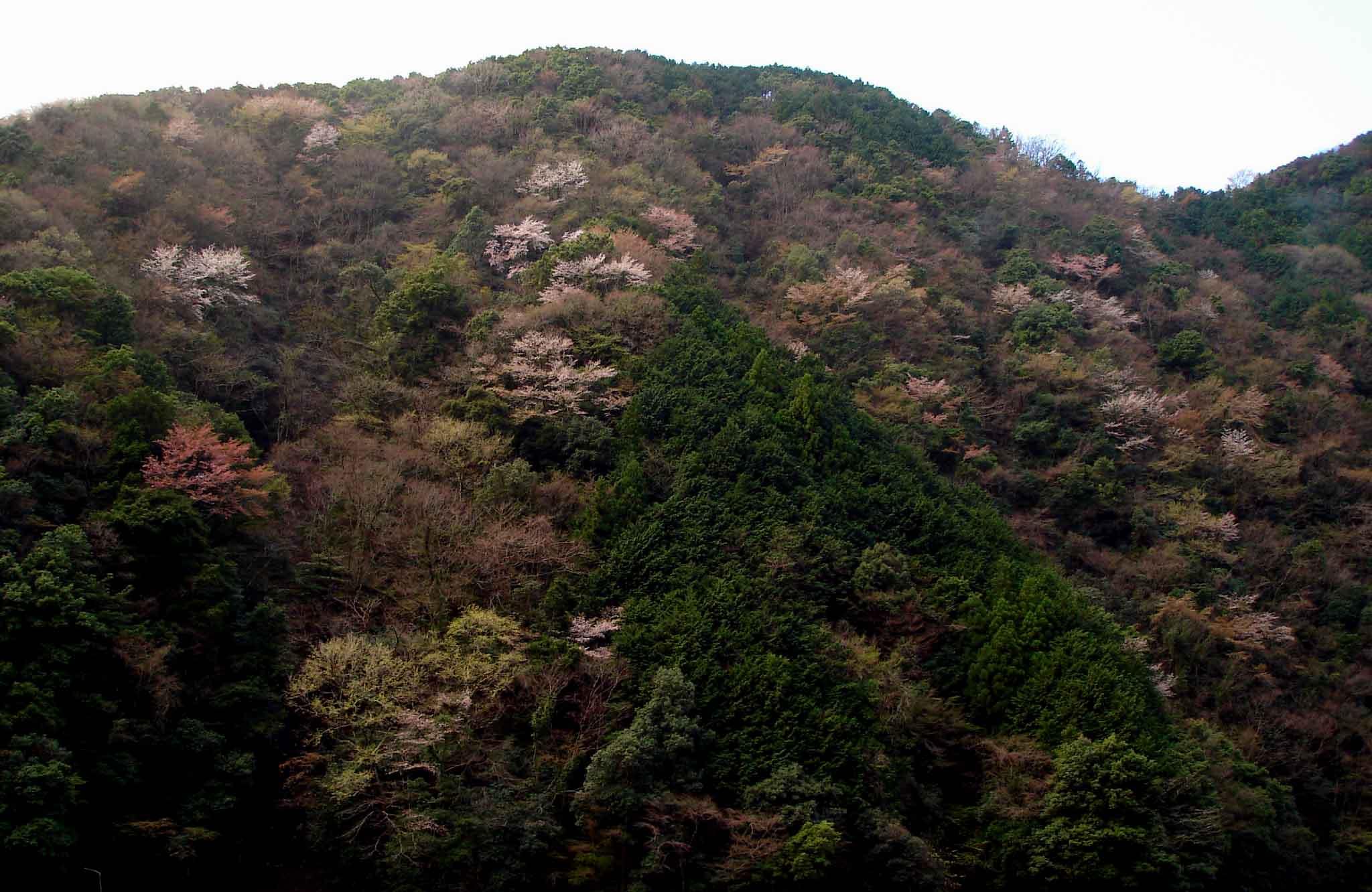 安倍川沿い山斜面のヤマザクラ