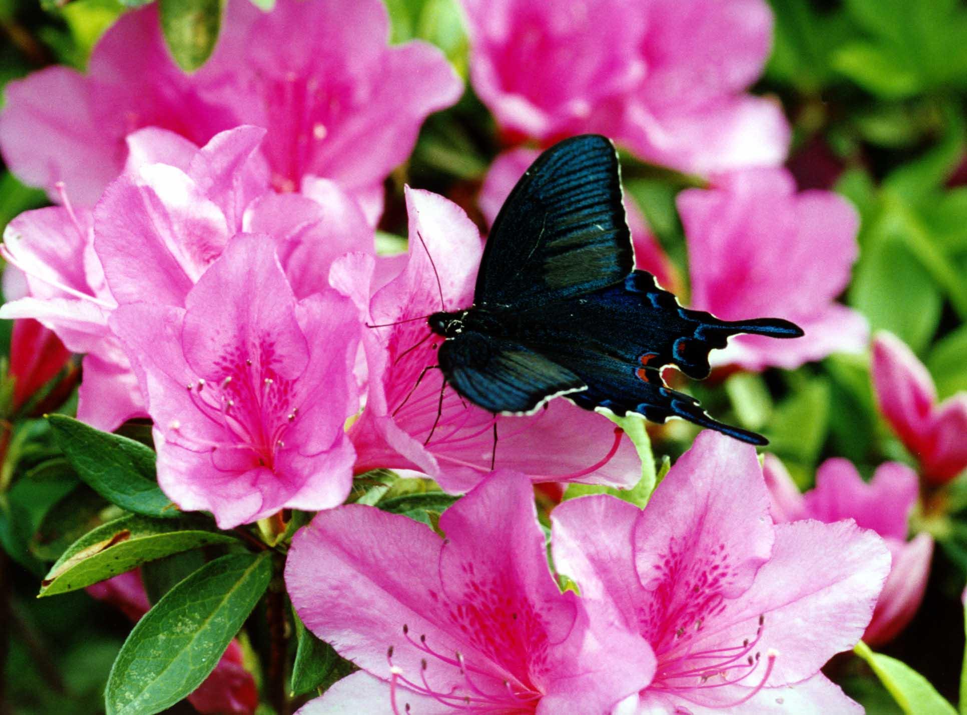 カラスアゲハ(春) ツツジに吸蜜に訪れたカラスアゲハ