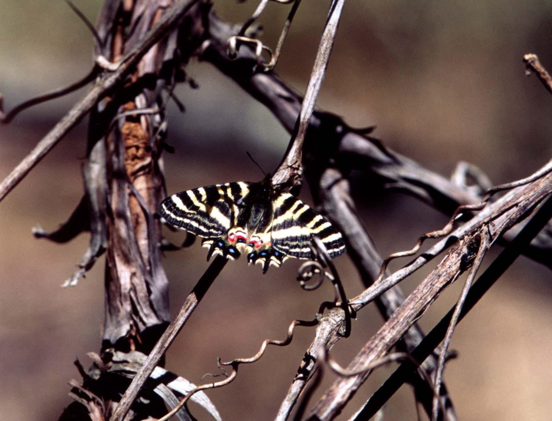 ヒメギフ 山葡萄にとまるヒメギフチョウ