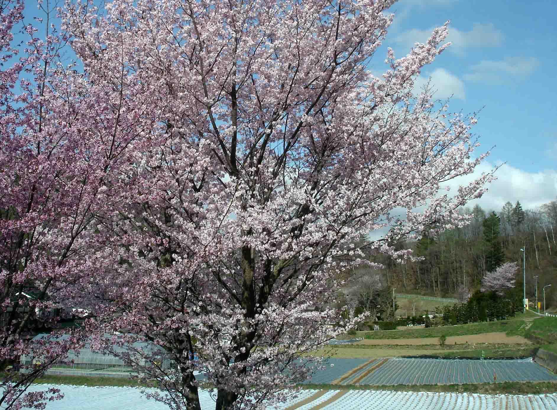 川上村は桜が満開