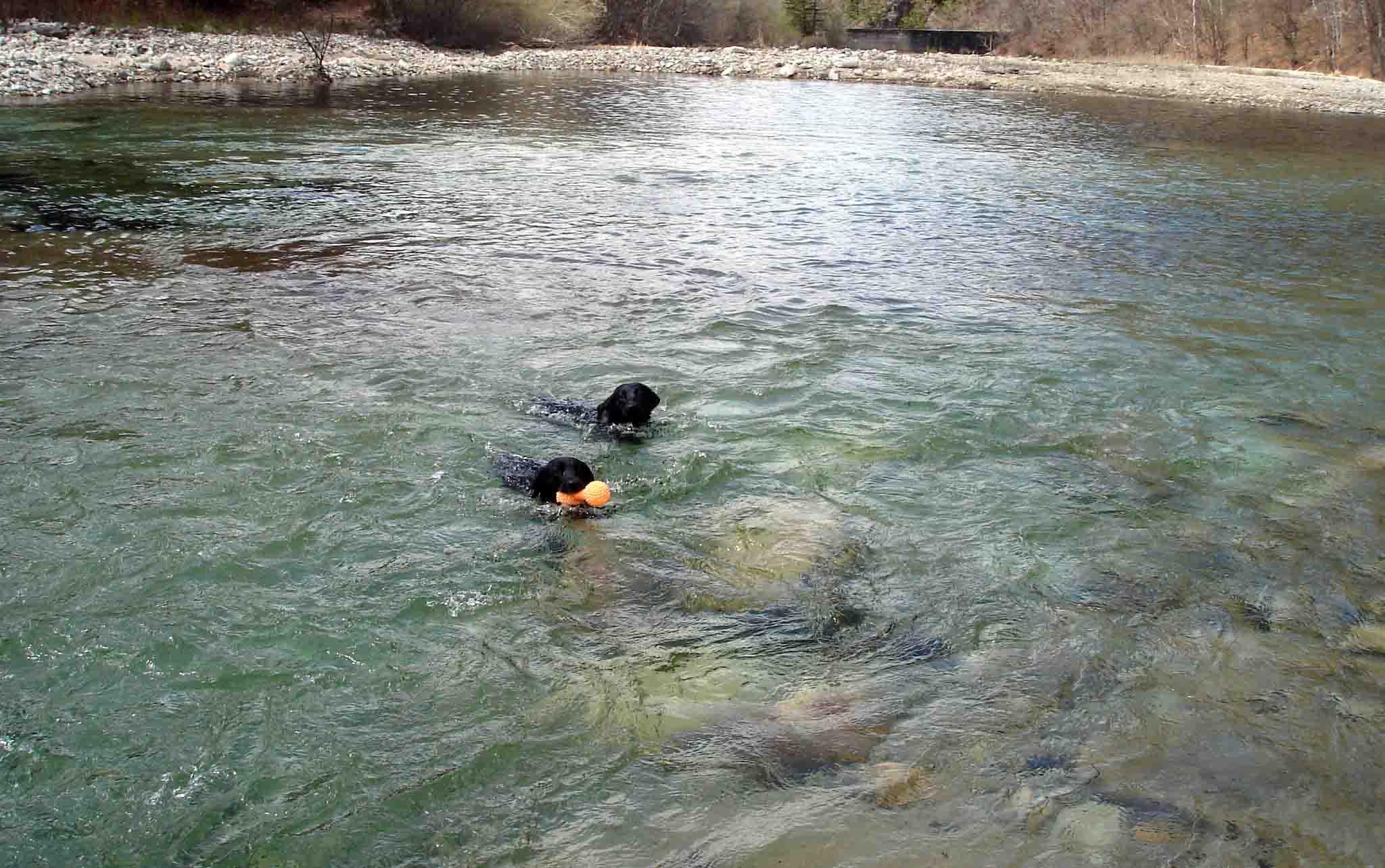 泳ぐ黒ラブ2