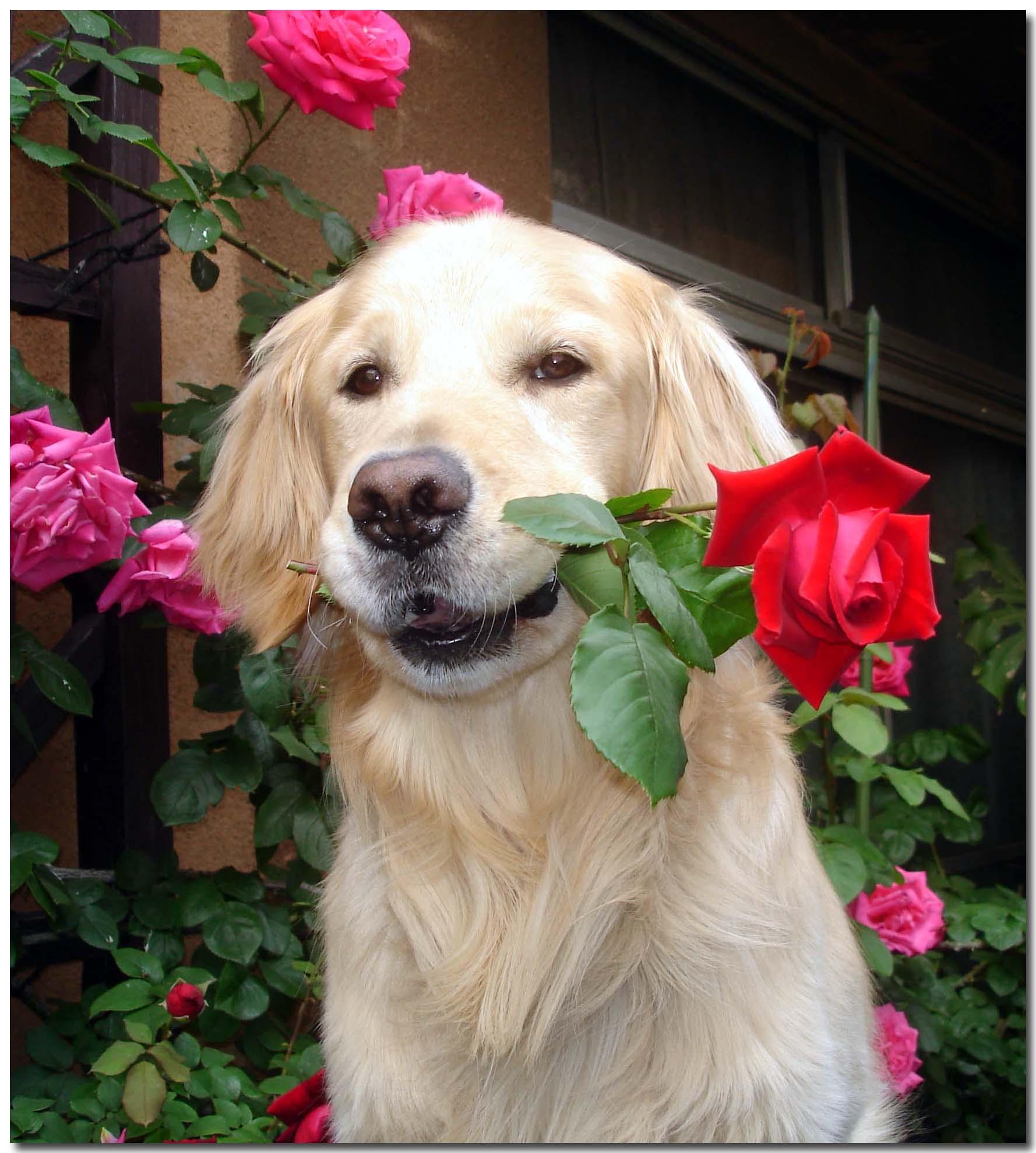 赤いバラとチャンス