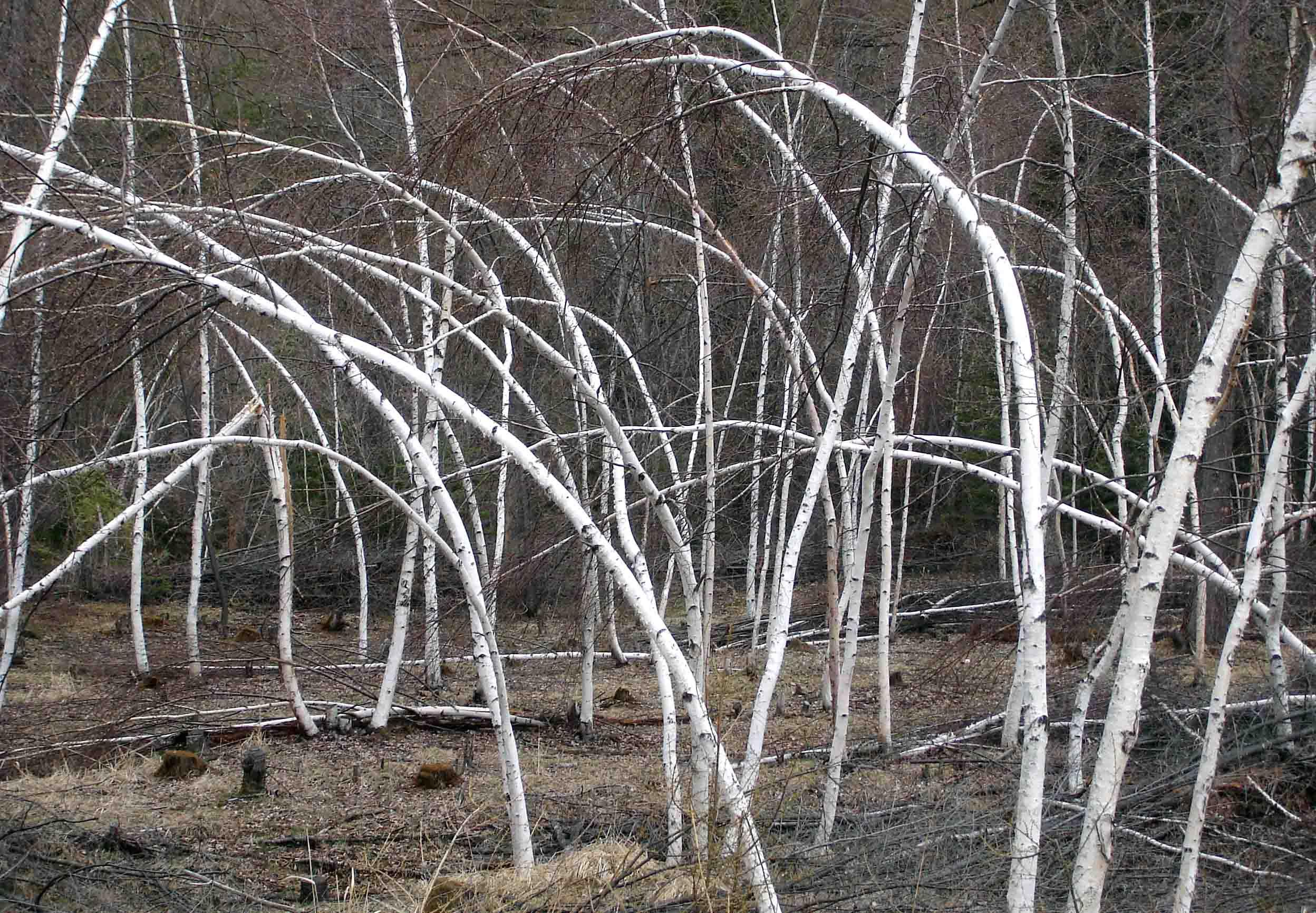 湿雪での雪害を受けた白樺樹③