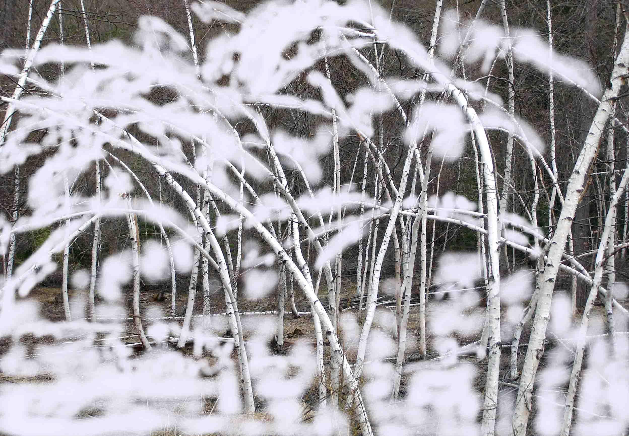 湿雪が着雪した白樺樹(イメージ)