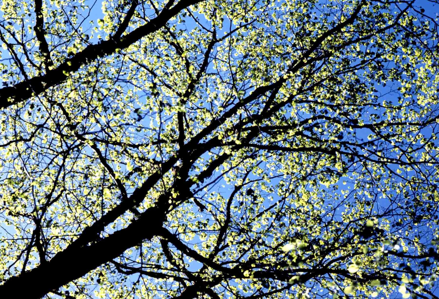 朝日を浴びる芽吹く新緑樹