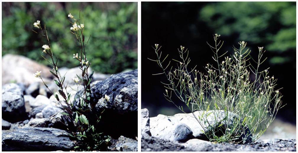 河原に咲く「ハタザオ」の2種(アブラナ科ハタザオ属)