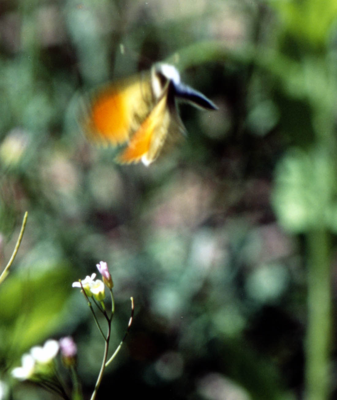 クモマツマキチョウの飛翔