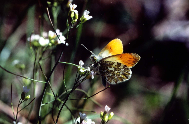 ハタザオで吸蜜するクモマツマキチョウ♂