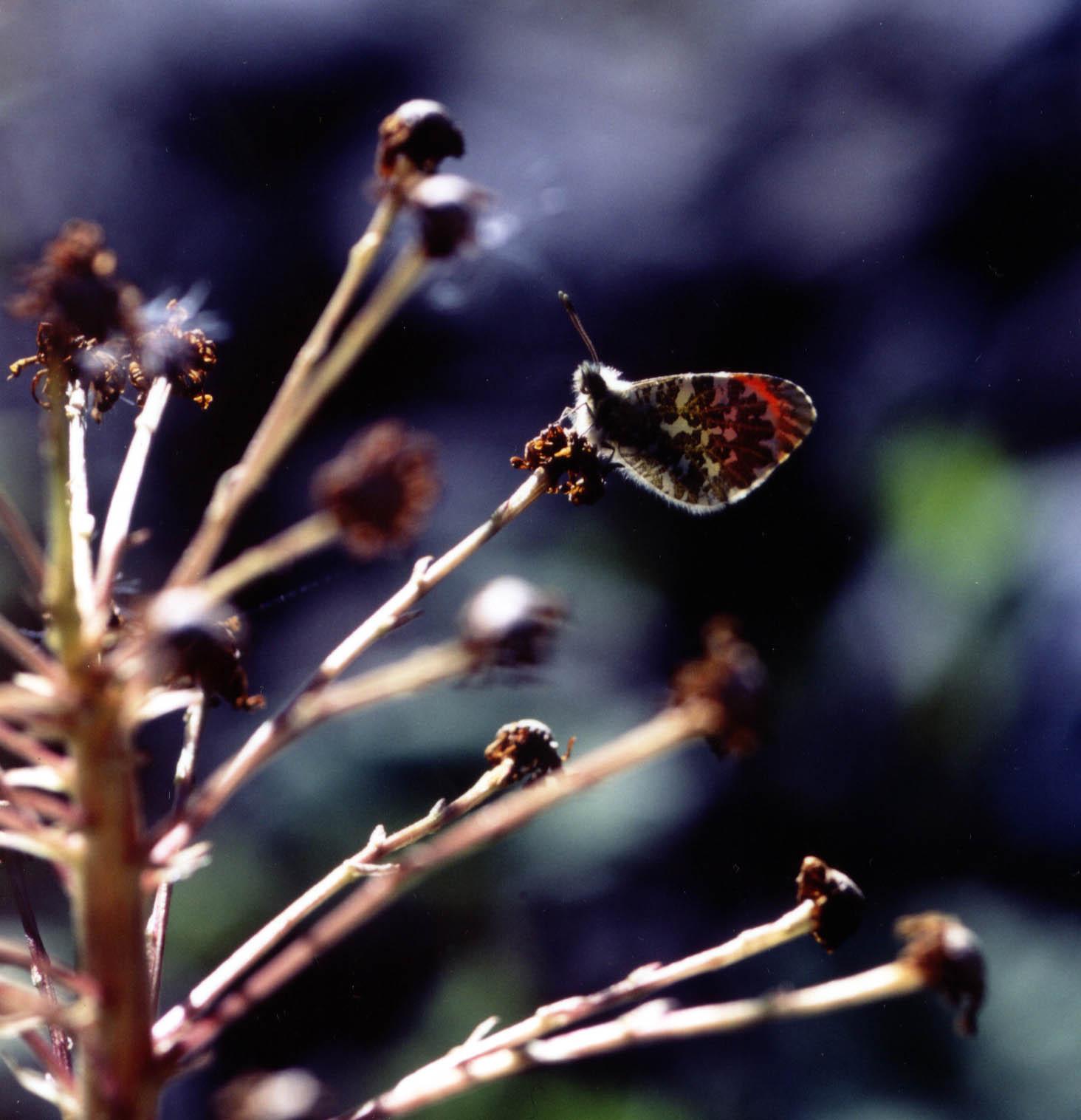 フキの花あとで羽を休めるクモマツマキチョウ