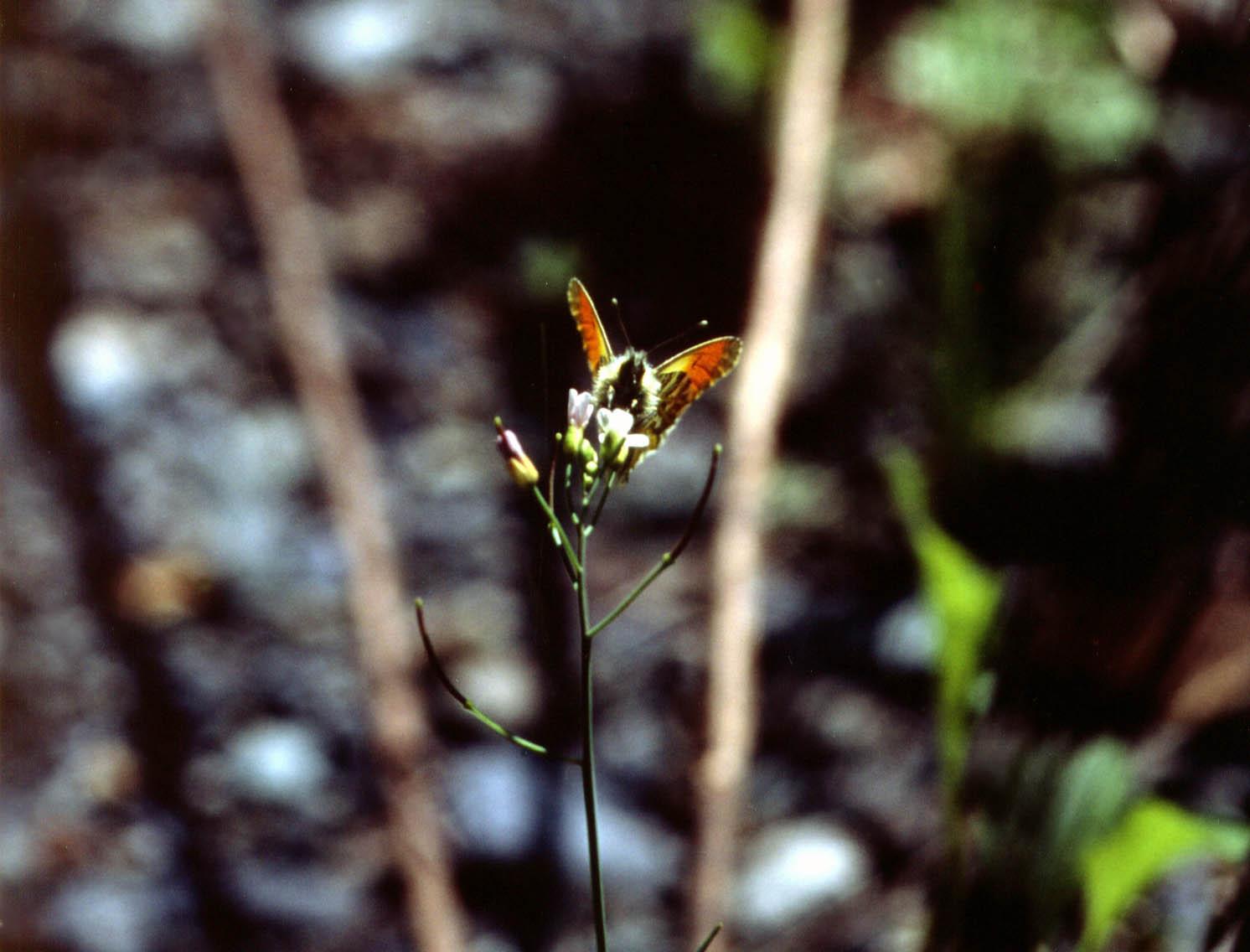 ハタザオで吸蜜するクモマツマキチョウ♂(正面)