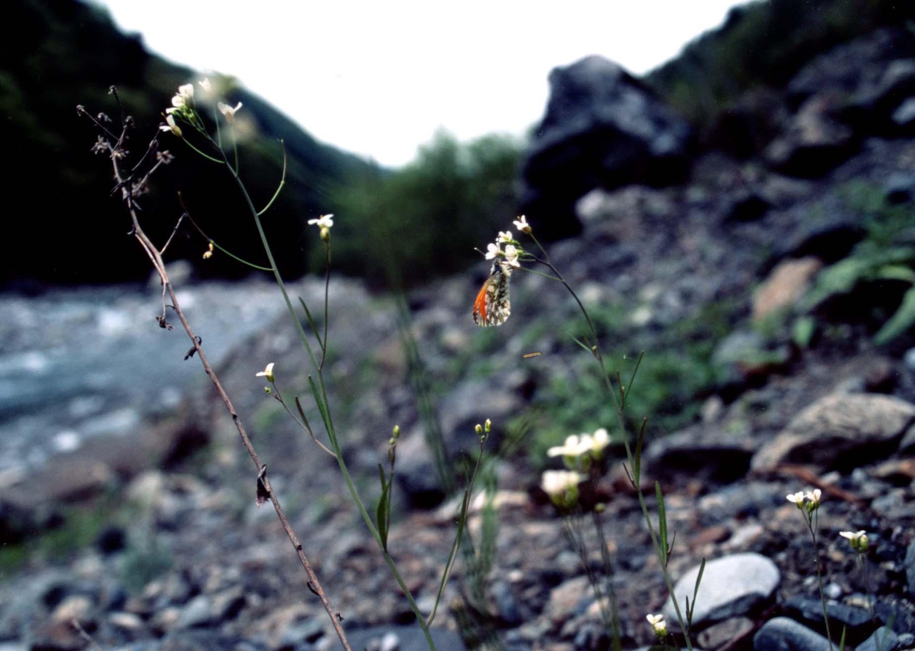 河原のハタザオで吸蜜するクモマツマキチョウ♂(広角)