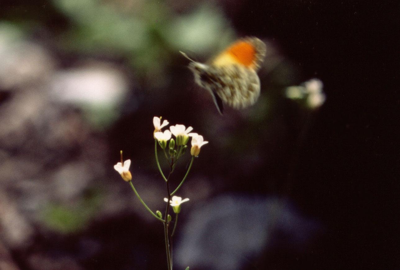 クモマツマキチョウの飛翔②