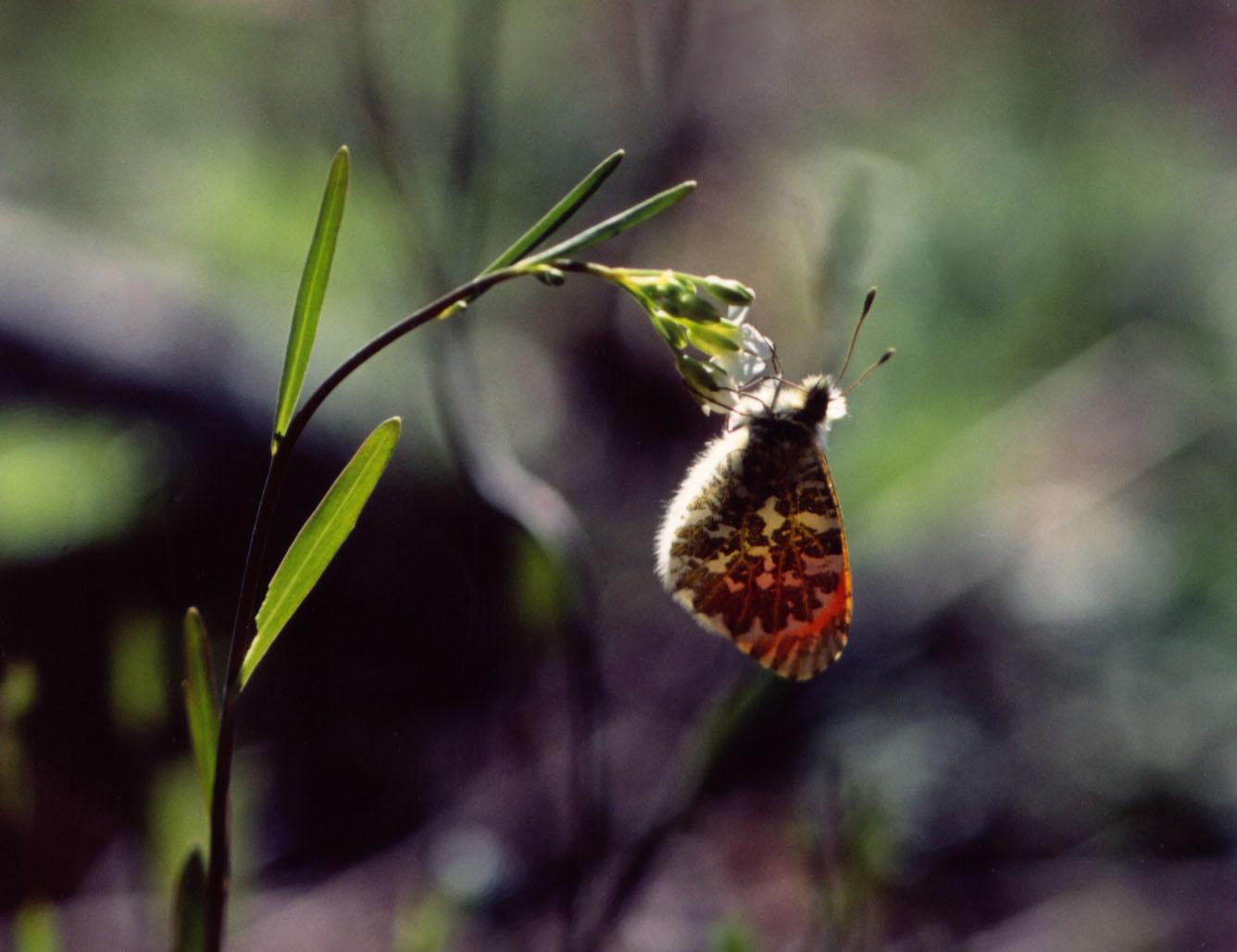 ハタザオで吸蜜するクモマツマキチョウ♂(逆光ぶらさがり)