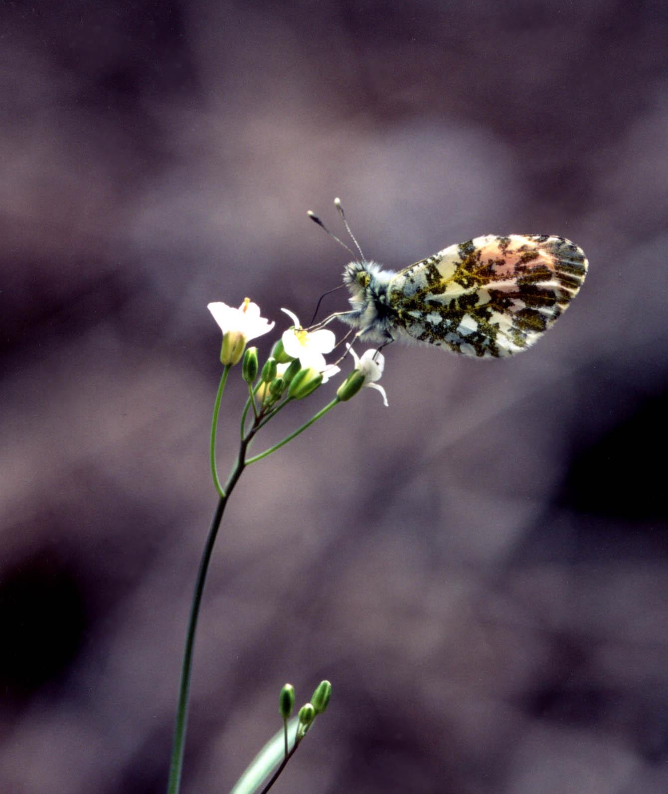 ハタザオで吸蜜するクモマツマキチョウ♂(順光横)