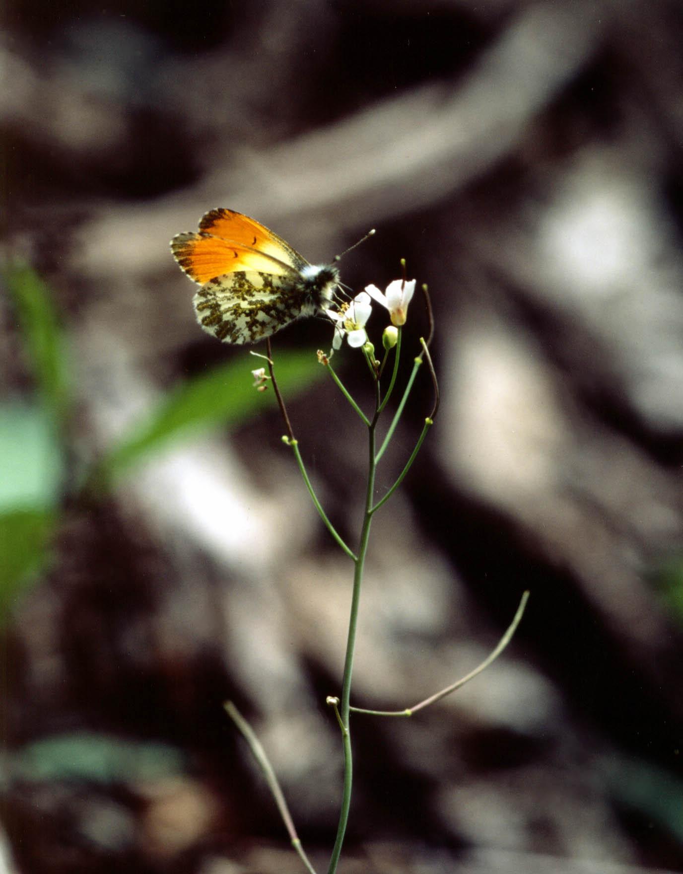 ハタザオで吸蜜するクモマツマキチョウ♂(逆光★)