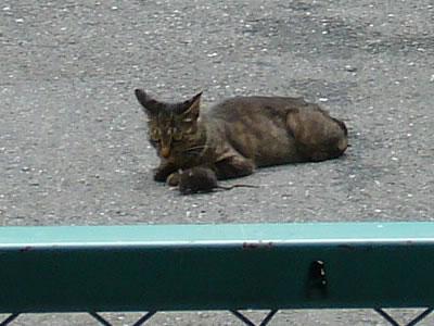 駐車場の野良猫