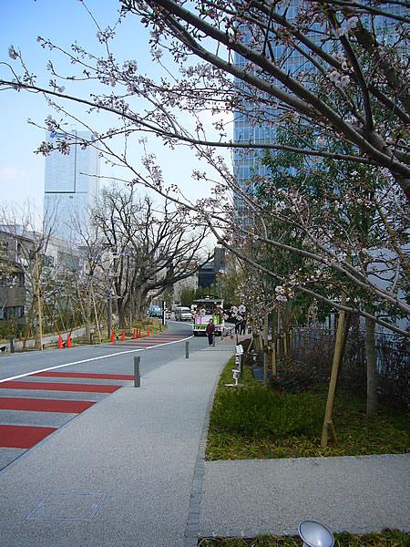 SACAS の桜