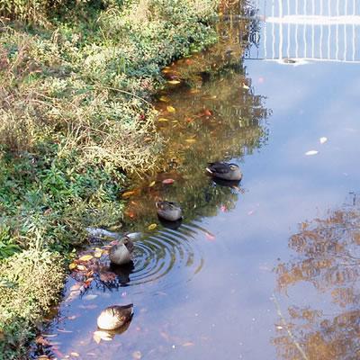 調整池の鴨