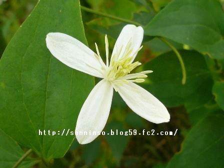 仙人草の花3