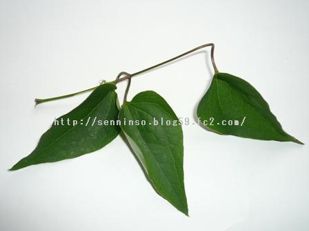 仙人草の葉