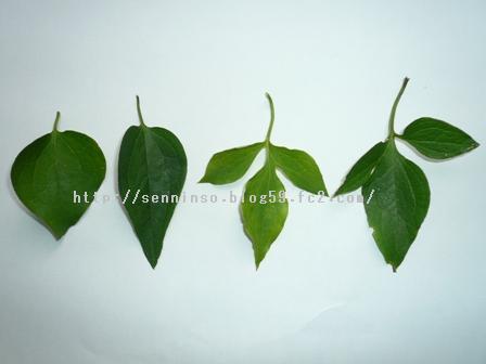 仙人草の葉2