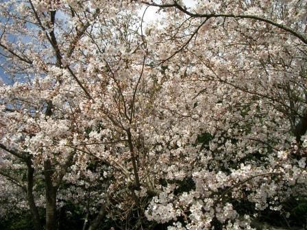 下山田八幡宮 桜満開