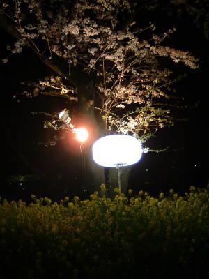 tukuiyozakura1.jpg