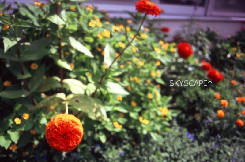 おれんじの花