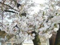 大浜公園桜1