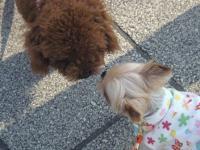 大浜公園トイプーちゃんとシャロン2
