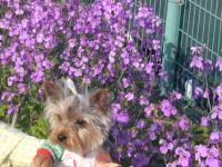紫の花とラピ