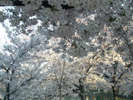 万代池公園桜1