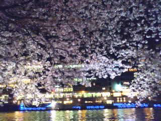 大川沿いの桜2