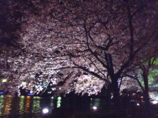 大川沿いの桜1