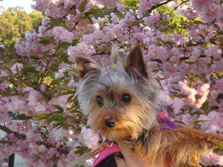 八重桜の前のラピ