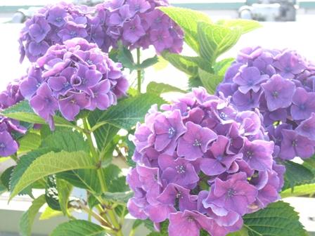 紫のあじさいアップ