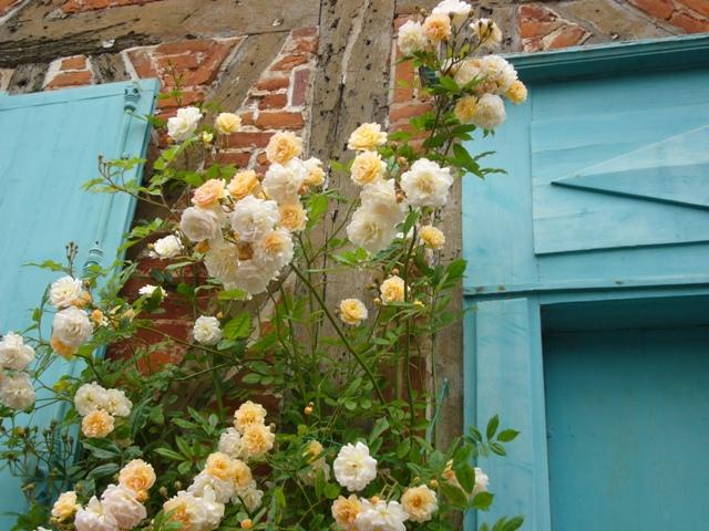 黄色のバラのグラデーションが、綺麗です!
