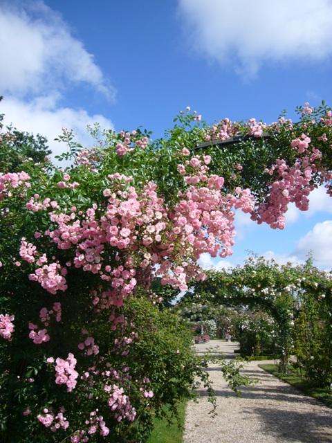バラのアーチに、たわわに咲くバラの房