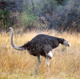 Ostrich277-275.jpg
