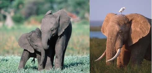 african_elephant_composite108955.jpg