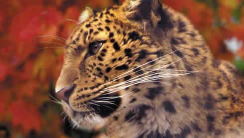 amur_leopard.jpg