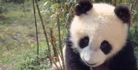 giant_panda_41506.jpg