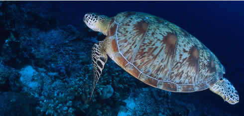 green_turtle_jfreund58133.jpg
