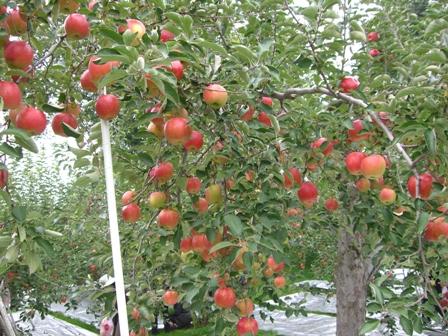 10月23日リンゴ狩り大