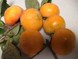 10月30日柿