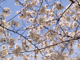 2008花見 015