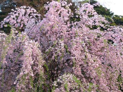 谷中のしだれ桜