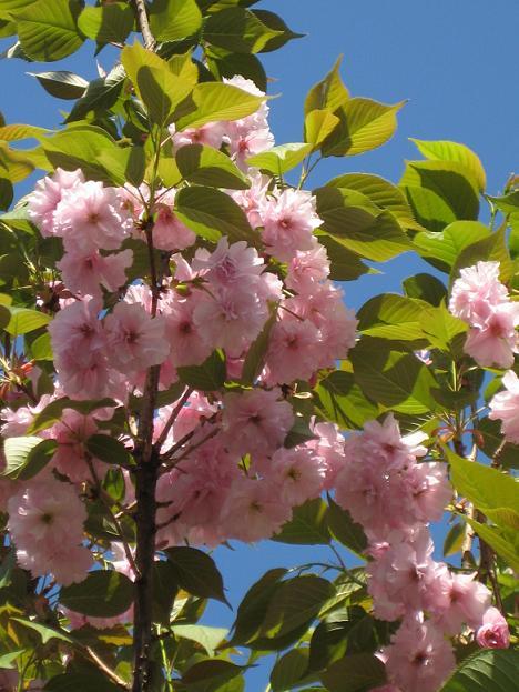 お店の前の八重桜