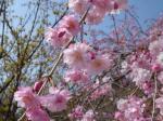 なんていう桜?2
