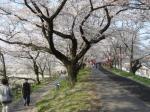 山陰桜の名所2